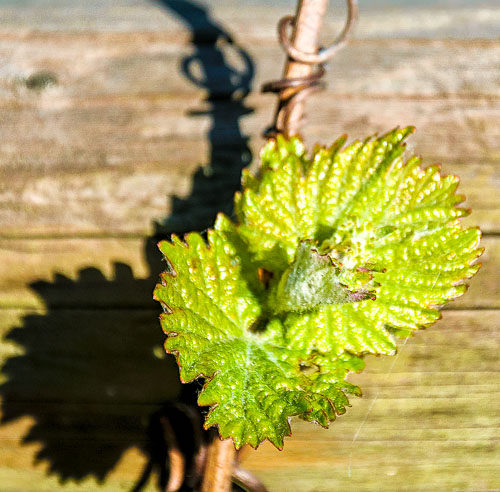 Auf diesem Bild kann man die jungen Blätter erkennen.