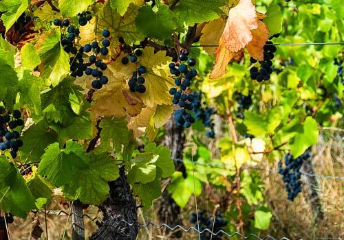 Spätburgunder Trauben, die schon ausgetrocknet sind, hängen an einem Rebstock. Man erkennt rund herum die grünen und gelben Blätter. Das Foto wurde in der Weinregion Ahr aufgenommen.
