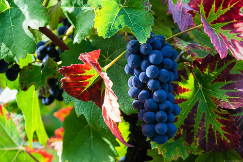 Im Ahrtal werden vor allem Pinot Noir Reben für Rotwein angebaut