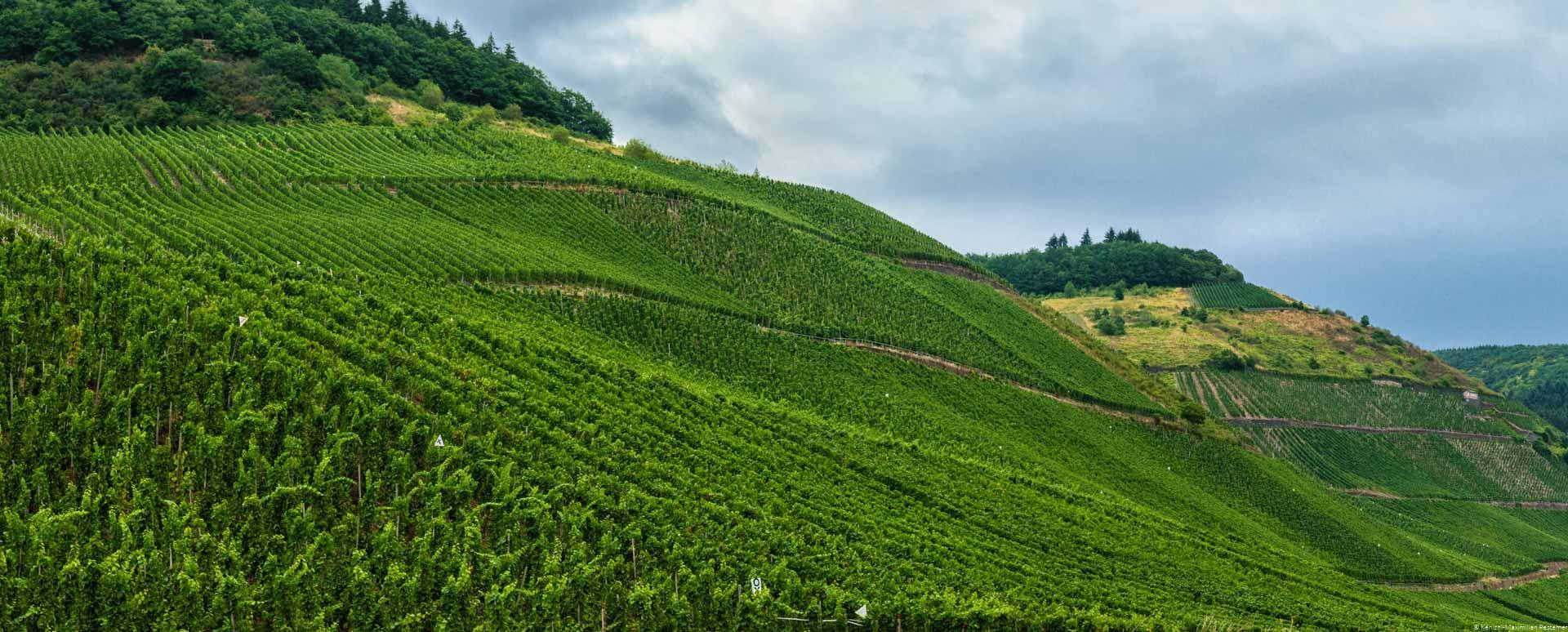 Der Weinberg Schweicher Burgmauer ist unten und in der Mitte und es sind Regenwolken am Himmel oben rechts. Oben links ist etwas Wald.