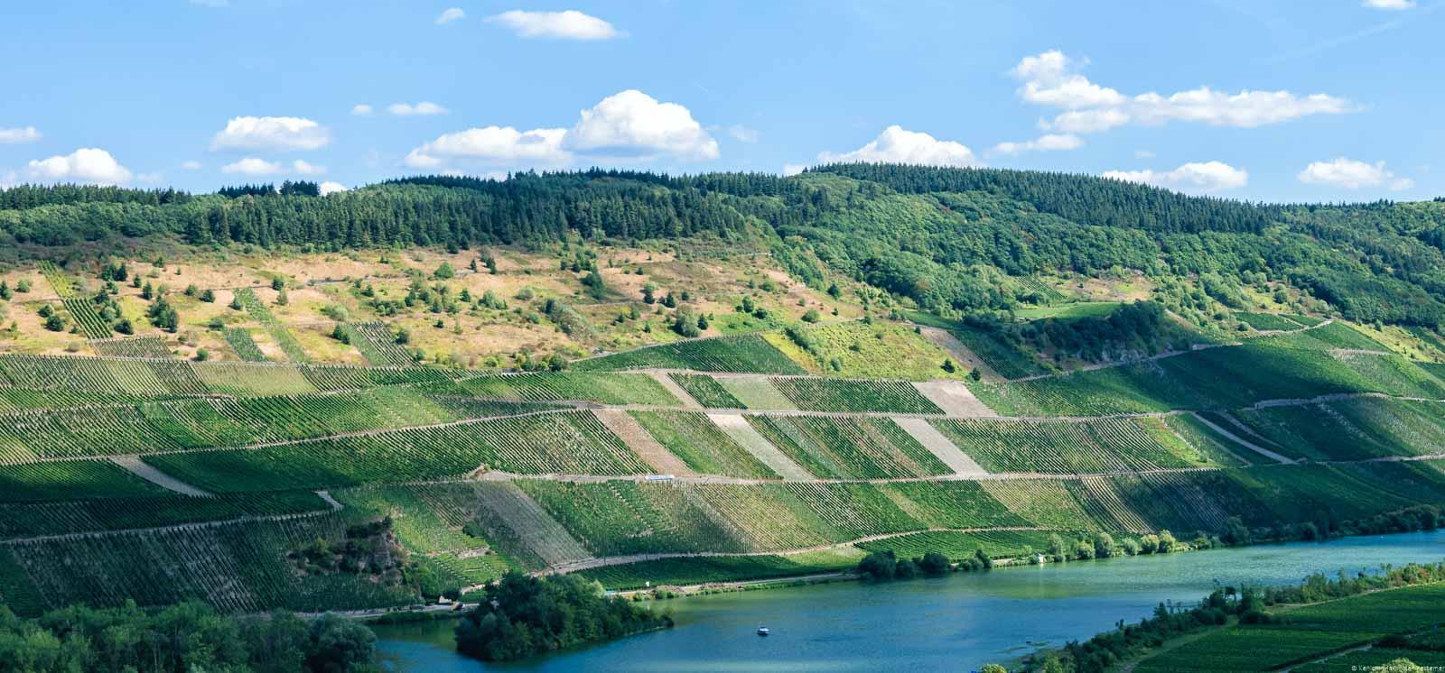 Unten im Bild fließt die Mosel. Am Ufer dahinter türmt sich der steile Weinberg Detzemer Würzgarten auf. Am oberen Ende des Weinberges ist Wald. Darüber sind man Wolken am blauen Himmel.