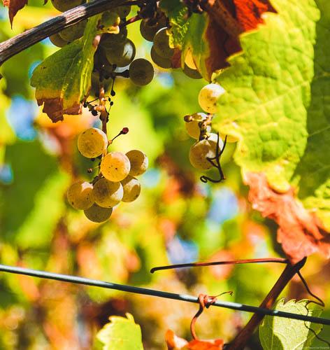 Goldene Trauben; gelbe, grüne aus denen Saar Riesling hergestellt werden kann hängen an Rebstock. Man erkennt rote und orange Blätter.