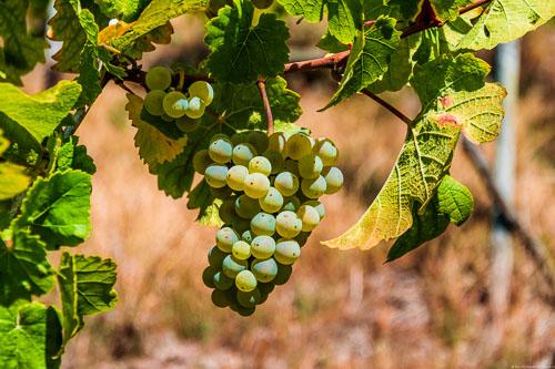 Riesling-Trauben im Weinberg Klüsserather Bruderschaft