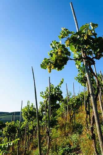 Rebstöcke im steilen Weinberg Maringer Sonnenuhr mit blauemHimmel oben