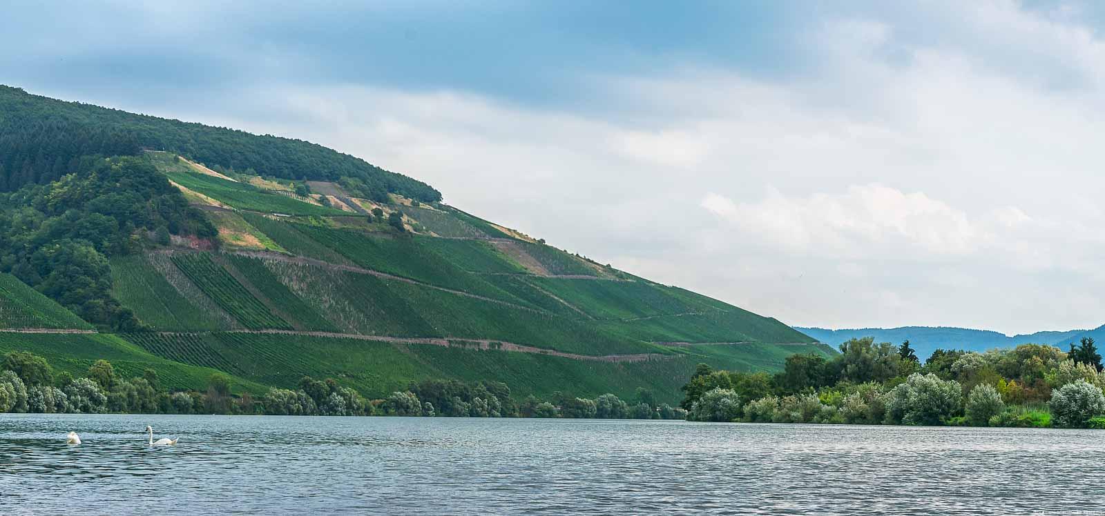 Vorne fließt die Mosel. Dahinter erkennt man den Weinberg Maximiner Herrenberg der groß und steil ist. Am Himmel ist Wolken. Unten am rechten Ufer befinden sich einige Bäume und der Ort Longuich.