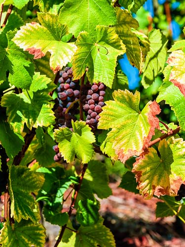 Rotweintrauben und Blätter im Schleicher Sonnenberg