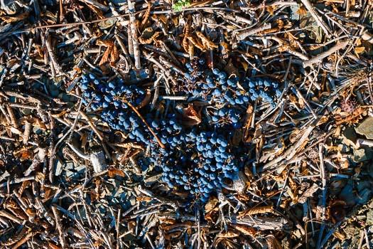 Die Spätburgunder-Trauben sind heruntergefallen