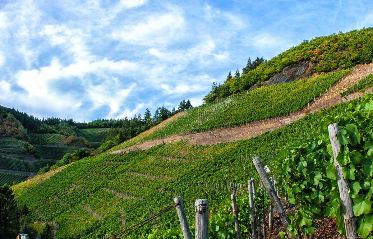 Der Weinberg Marientaler Trotzenberg ist ein Steilhang im Ahrtal. Dort werden Spätburgunder-Trauben kultiviert