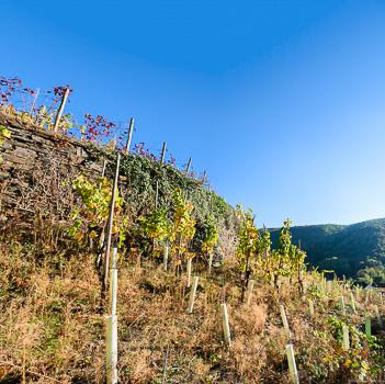 Neu angepflanzte Reben auf Weinberg in Marienthal
