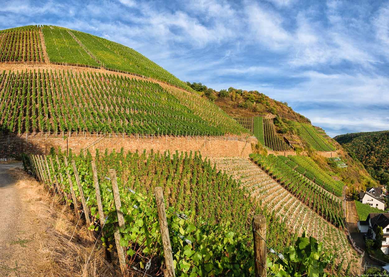 An dieser Stelle im Ahrtal findet man im Weinberg Dernauer Pfarrwingert einige der steilsten Parzellen für Spätburgunder.