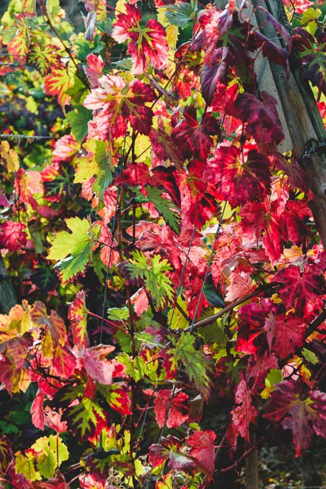 Reben im Herbst mit bunten bis roten Blättern in Walporzheim im Ahrtal
