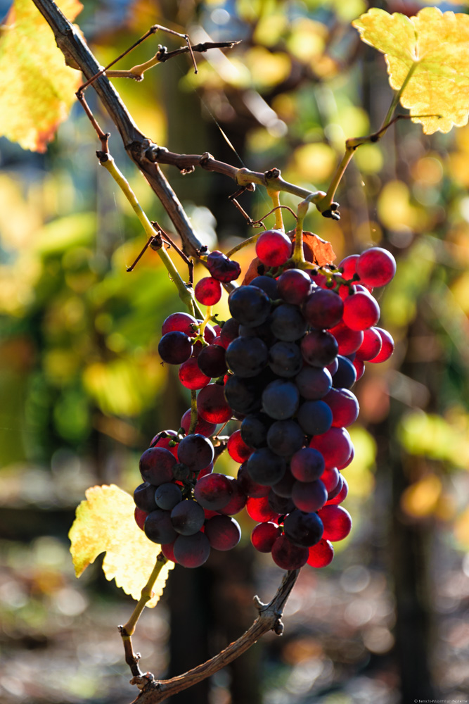 Diese Rotweintrauben werden von der Sonne beleuchtet. Im Hintergrund sind Blätter und Weinreben.