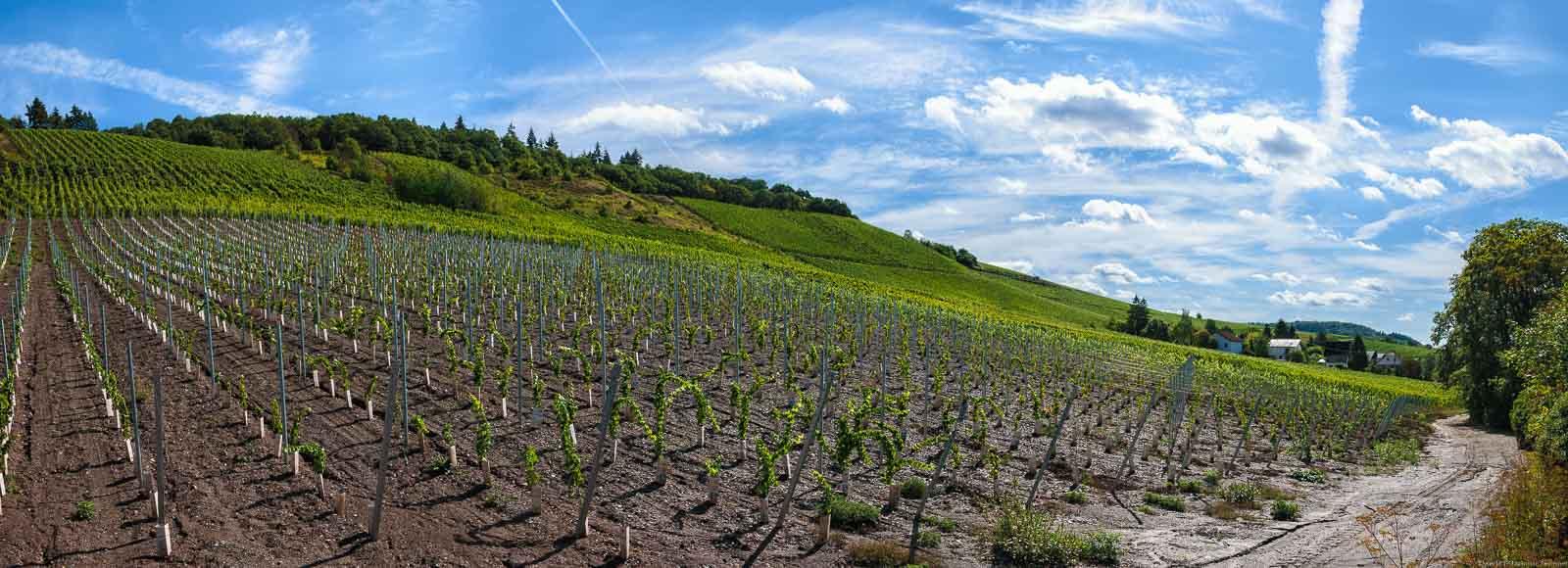 Auf dem Bild erkennt man einen neu bestockten Weinberg im Filzener Pulchen. Die jungen Riesling-Reben sind mitten im Wachstum.