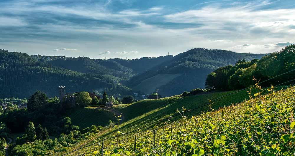 Am Ende des Weingartens Serriger Schloß Saarsteiner Schloßberg erkennt man einen Turm. Dahinter befinden sich bewaldete Hügel. Der Himmel ist leicht bewölkt und blau.