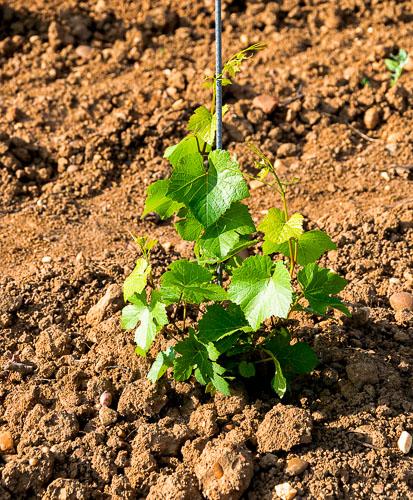 Ein kleine neu gepflanzte Burgunderrebe auf Lehmboden im Weinberg Perler St. Quirinusberg