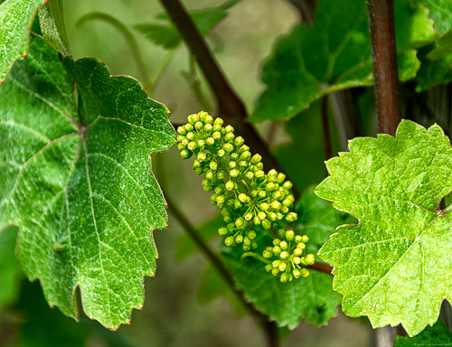 An diesem Rebstock bilden sich gerade junge Trauben aus.