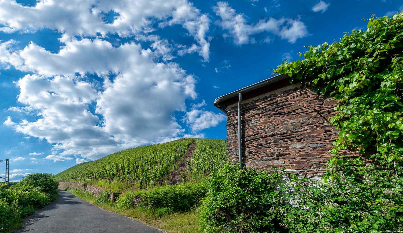 Der Weinberg Wiltinger Gottesfuß liegt nahe der Saar und wir nur durch Gleise von dieser getrennt. Auf dem Bild erkennt man außerdem den Weinberg Wiltinger Braune Kupp.