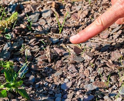 Auf den Weinbergen des Weinguts Dr. Frey lassen sich die seltenen Ödlandschrecken finden so auch hier auf dem Wawerner Jesuitenberg