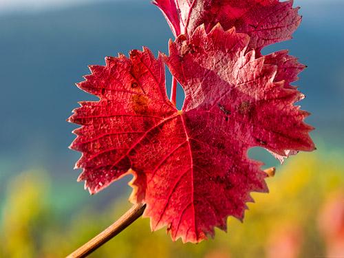 Ein rot gefärbtes Blatt im Herbst auf dem Monzinger Fruehlingsplaetzchen