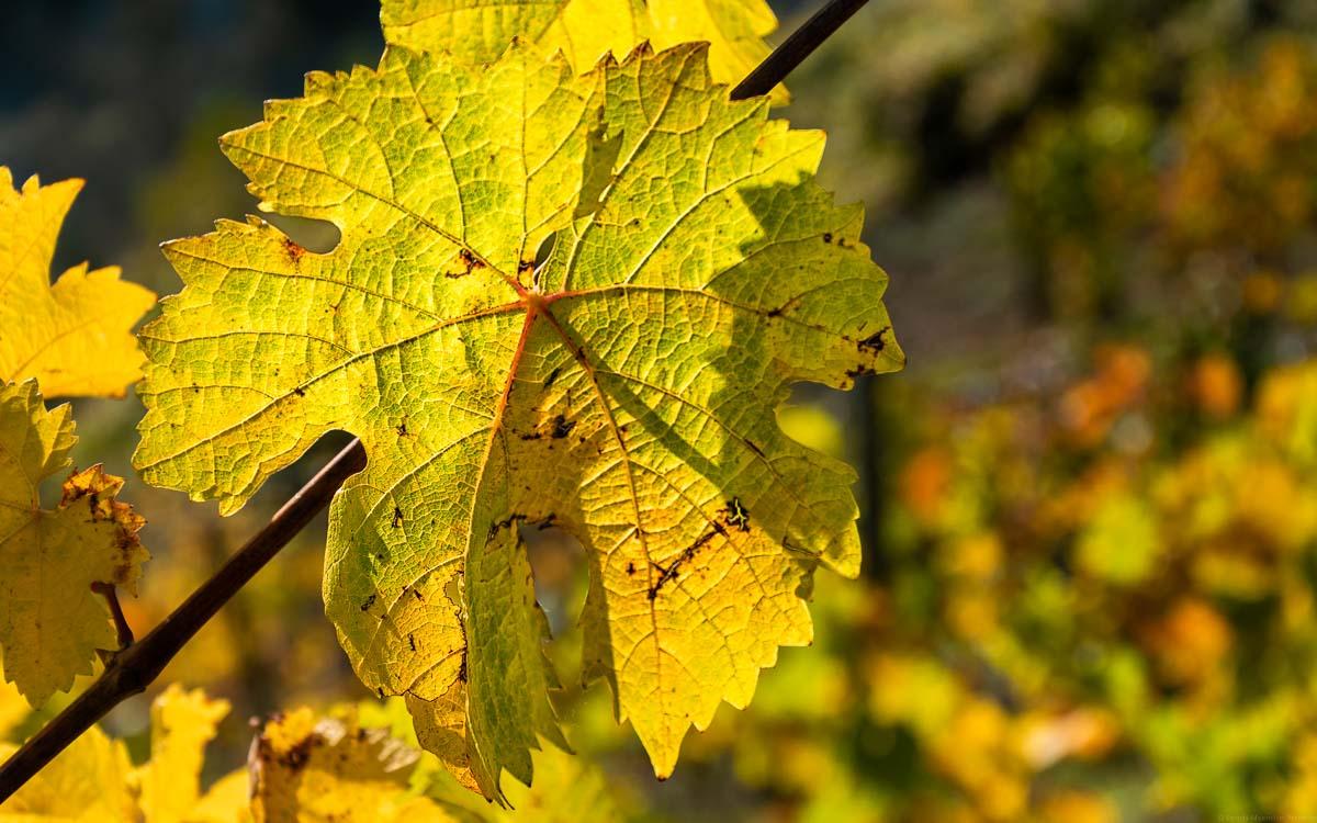 Gelbes Weinblatt im Herbst in einem Weinberg an der Nahe