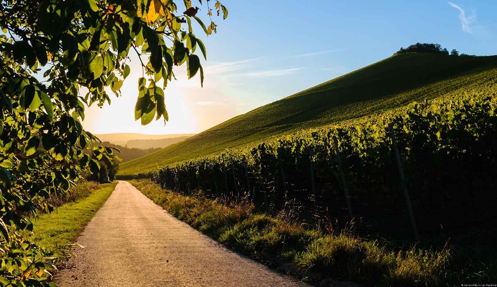 Auf der rechten Seite befindet sich der Weinberg Wiltinger Scharzhofberg, der ein Mythos ist. Vorne links verläuft eine geteerte Straße. Oben links sind Blätter und Äste eines Baumes. Am blauen Himmel im Hintergrund geht die Sonne unter. Auf der linken Seite liegt das Weingut von Egon Müller. Der Weinberg ist das Synonym für edelsüße Saar Rieslinge.