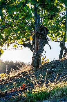 Alte Rebe im Weinberg; Rebsorte des Rotweins