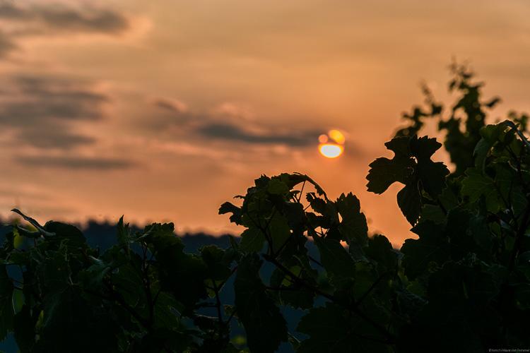 Die Riesling-Reben saugen das Licht der Abendsonne am Enkircher Steffensberg auf