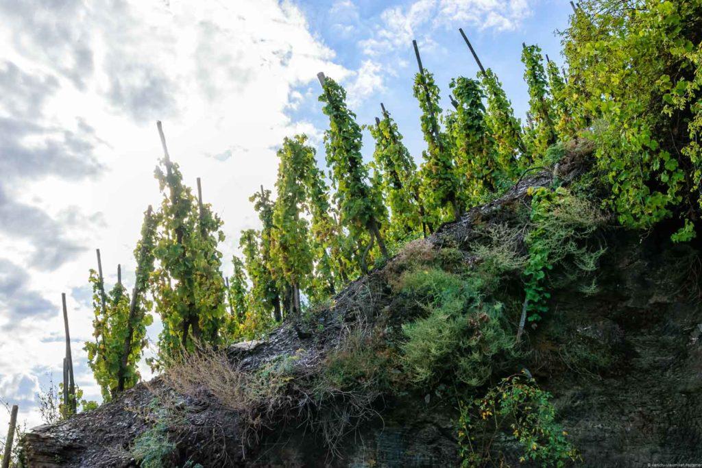 Alte Rebestöcke auf steilen Schieferböden am Erdener Treppchen und Erdener Prälat. Am blauen Himmel oben sind viele Wolken.