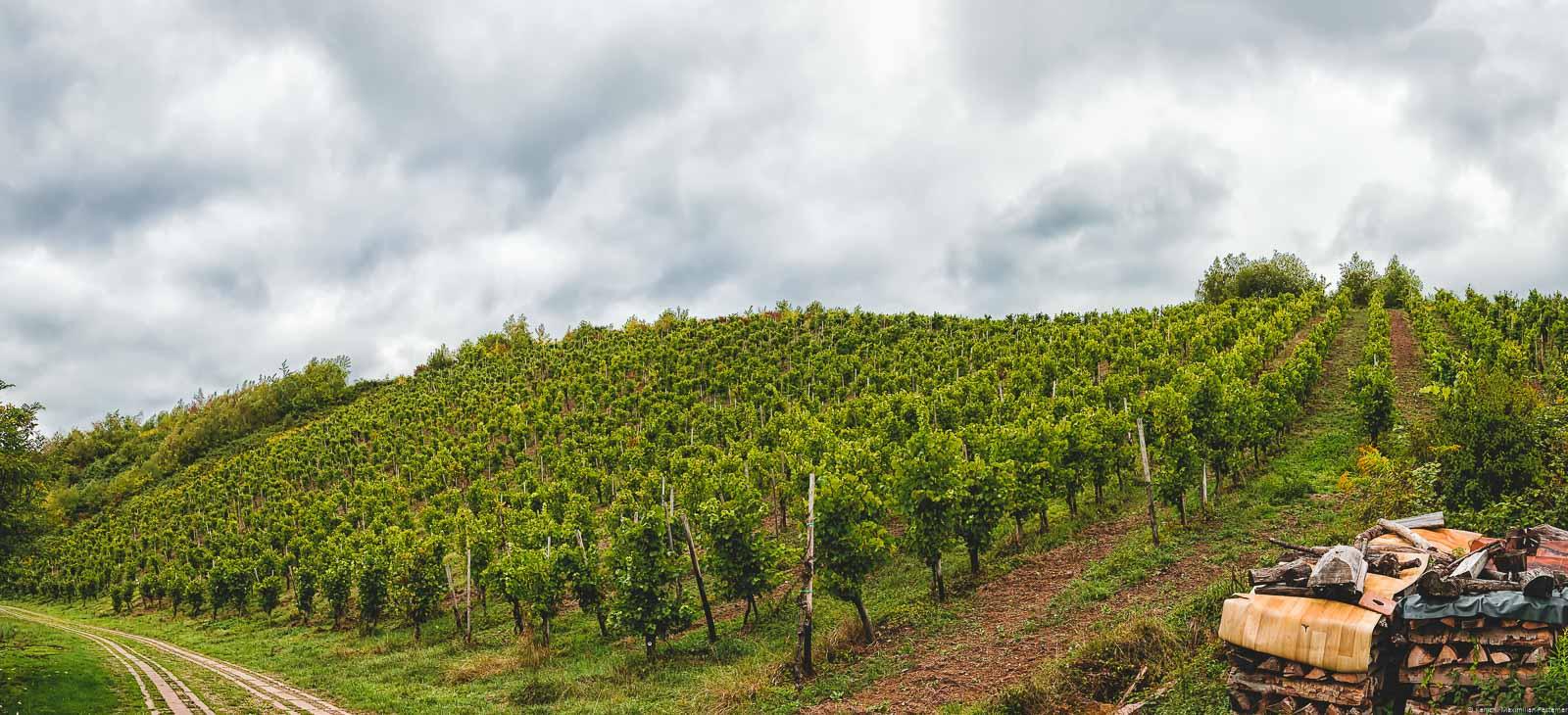 Durch einen kleinen Feldweg wird der Weinberg Mertesdorfer Herrenberg von Mertesdorf getrennt