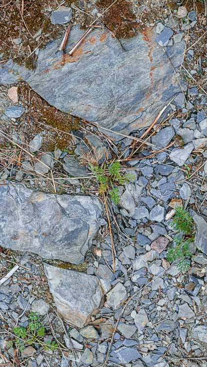 Blau-grauer Schiefer am Boden im Weinberg Piesporter Goldtröpfchen