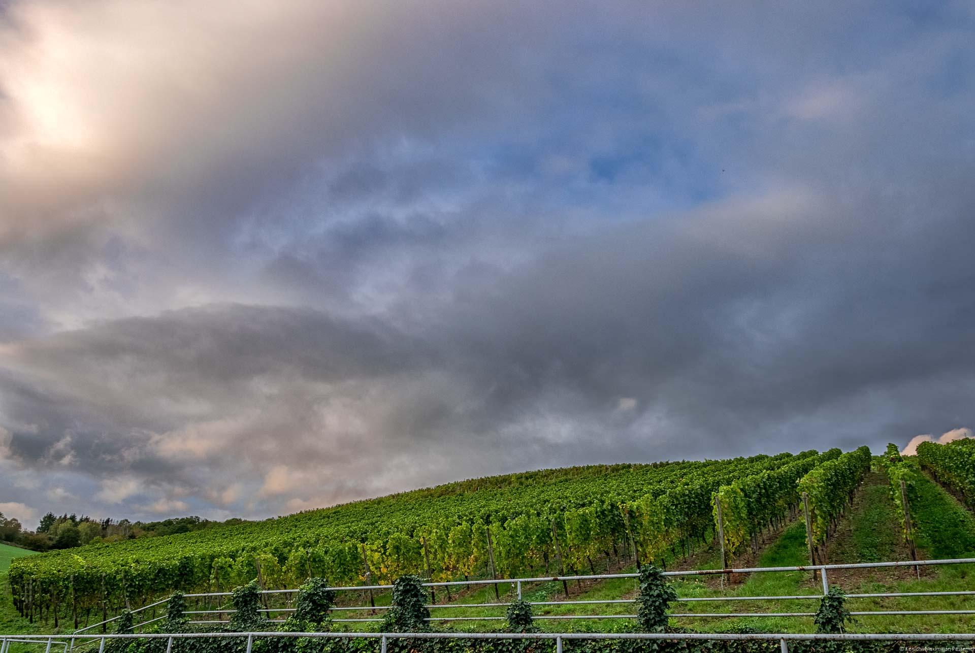 Weinberg Heppinger Berg am Hang während der Abendsonne