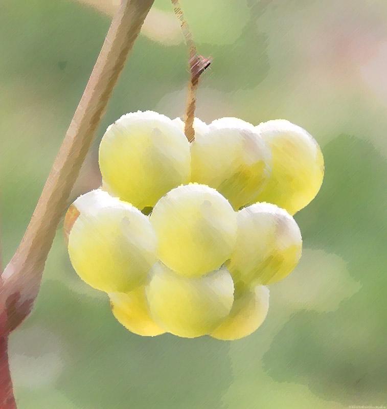 Gelbe Weißwein-Traube des Chardonnay mit grünem Hintergrund;