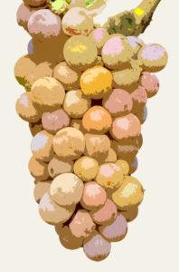 Weißwein Traube Grauburgunder aka Pinot Gris aka Pinot Grigio illustriert