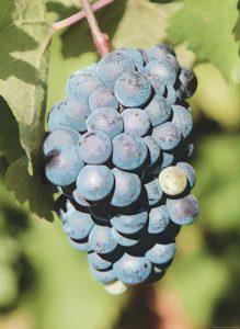 Merlot-Rotwein Traube mit Blättern
