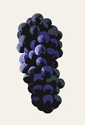 Spätburgunder aka Pinot Noir Traube illustriert kleiner