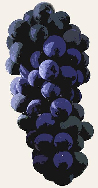 Spätburgunder aka Pinot Noir Trauben illustriert