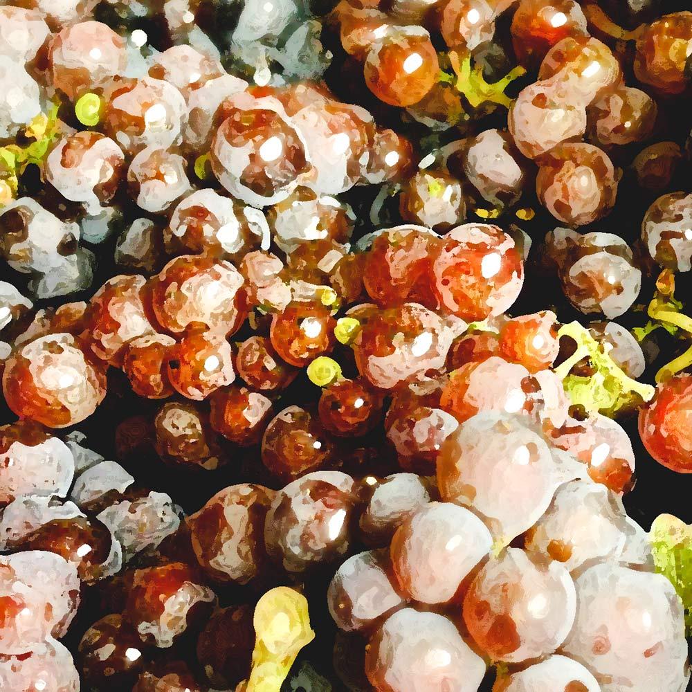 Trauben von Weißburgunder aka Pinot Blanc in verschiedenen Farben, Weißburgunder