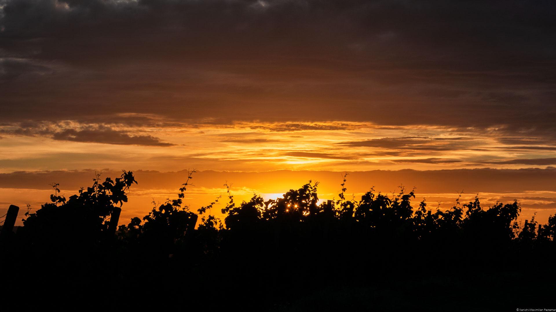 Reben im Vordergrund und während Sonne im Hintergrund am Himmel untergeht; Parzelle des Weinberges Wiltinger Braunfels an der Parzelle Vols