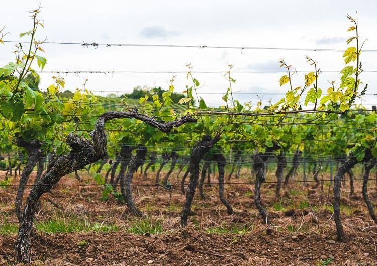 Am Boden befindet sich Lehm. Auf dem Lehmboden wachsen Reben zur Herstellung Pfälzer Weine. Am grauen Himmel sind Wolken.