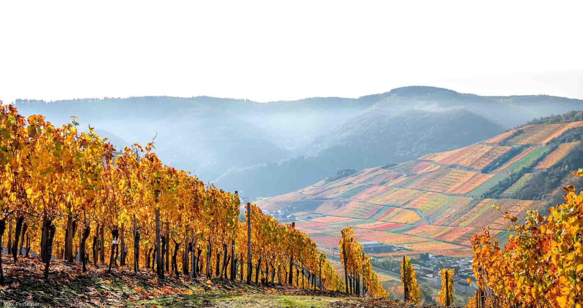 Hoch oben von einem Hang aus blickt man auf den Weinberg Recher Herrenberg im Herbst. Das Ahrtal erstrahlt bunt!