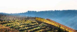 Weinberge mit am oberen Teil des Berges im Herbst. Die Blätter sind gelb und orange. Im Hintergrund sind bewaldete Hügel. Das Foto wurde bei Dernau aufgenommen.