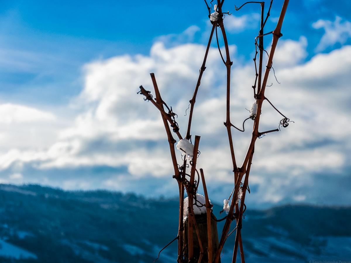 Von Eis und Schnee bedeckte Riesling-Rebe im Winter mit bläulichem Hintergrund an der Trittenheimer Apotheke.