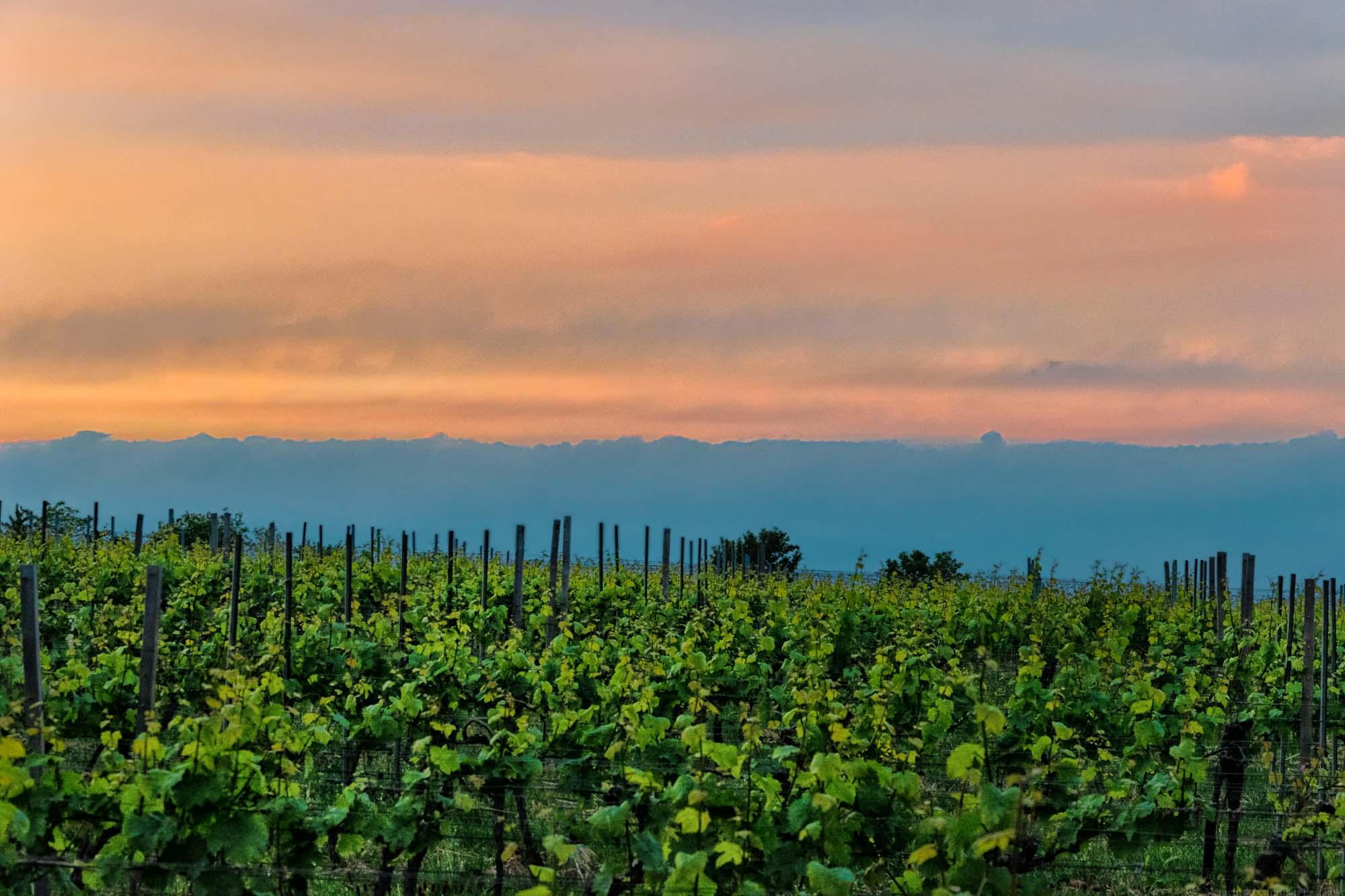 Sonnenuntergang am Weinberg Forster Ungeheuer an der deutschen Weinstraße. Dort wachsen viele verschiedene Rebsorten.