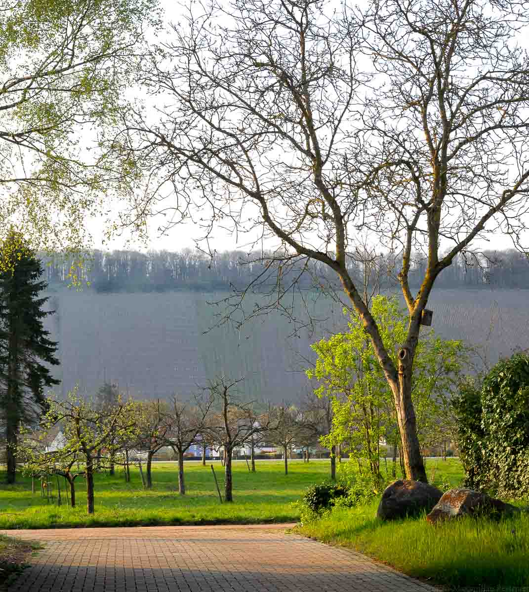 Blick vom Hof des Weingutes Dr. Frey auf Kanzem und den Weinberg Kanzemer Altenberg. Vorne befindet sich ein Weg. Rechts ist ein Baum auf einer Wiese mit Steinen.