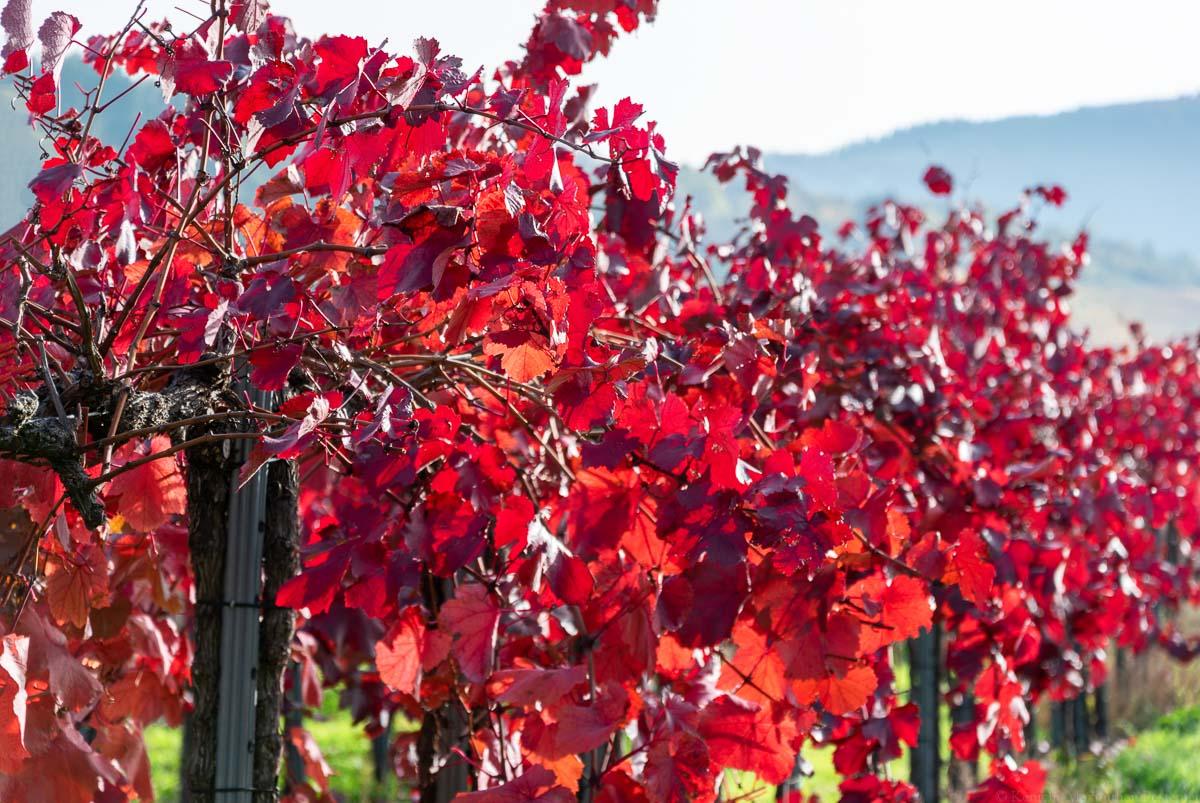 Rote Weinreben im Herbst an der Ahr in Dernau