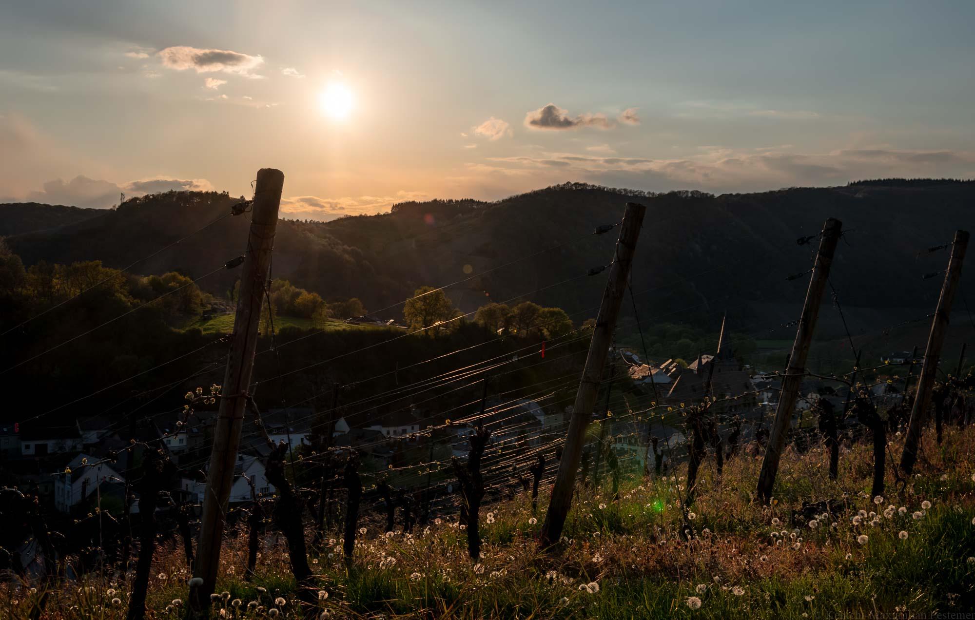 Sonnenuntergang im Weinberg Dhroner Hofberger mit Ort Neumagen-Dhron und bewaldeten Hügel sowie Weinbergen im Hintergrund