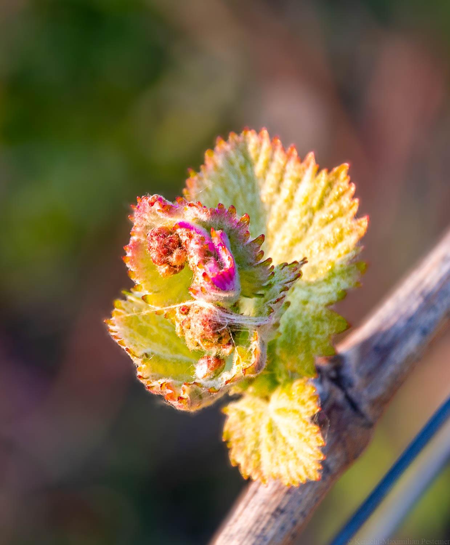 Knospen Blüte im Dhroner Hofberger