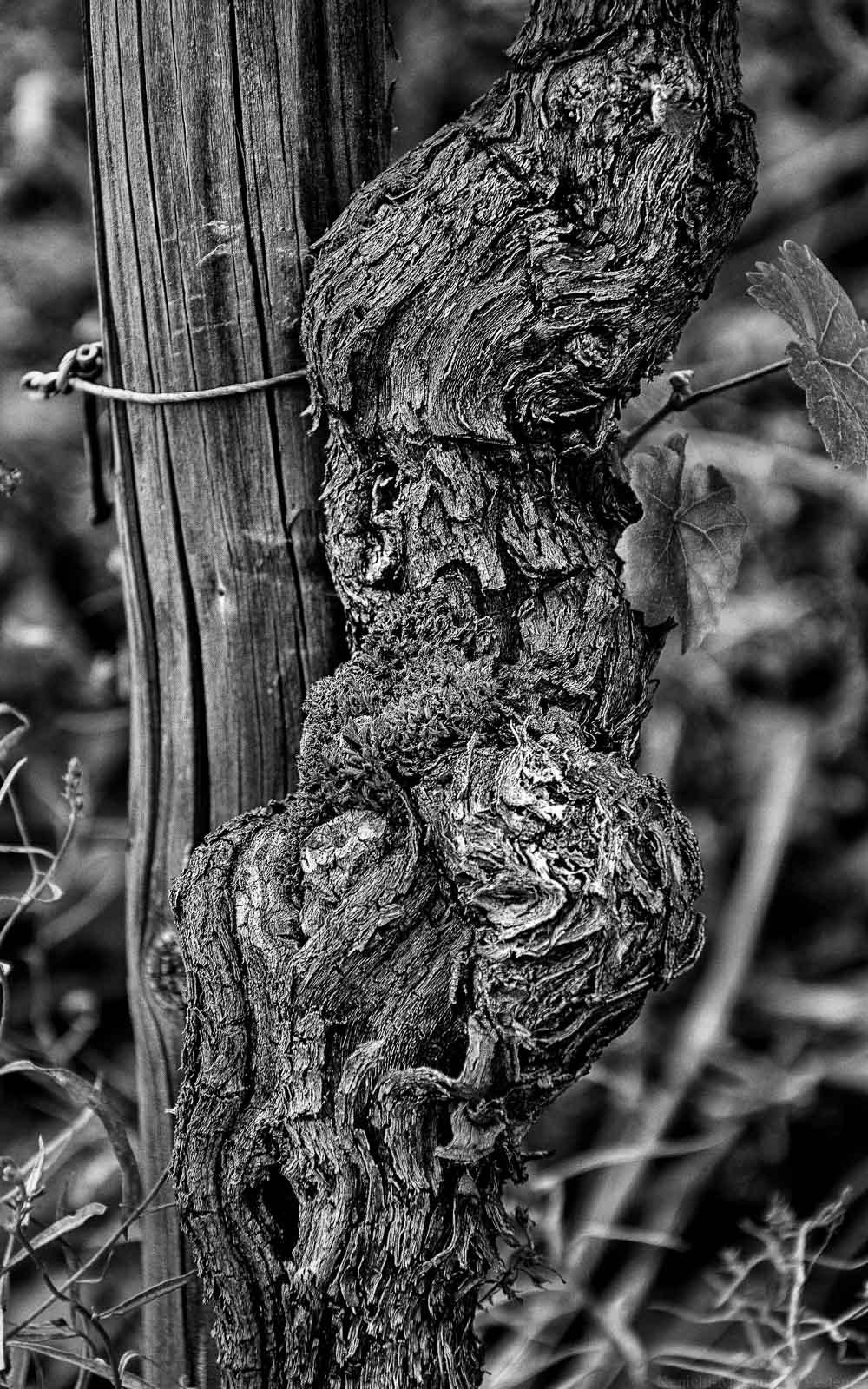 Rebe im Weinberg des Weingutes Vols aus Ayl an der Saar