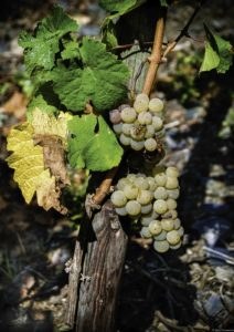 Wespe auf Riesling Rebstock Poster A3
