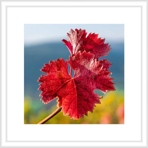 Rotes Weinblatt an der Nahe Vorschau 1 zu 1 30 x 30 cm mit Rahmen